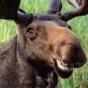 moose_400x400