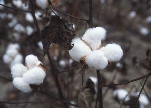 1024px-cottonplant